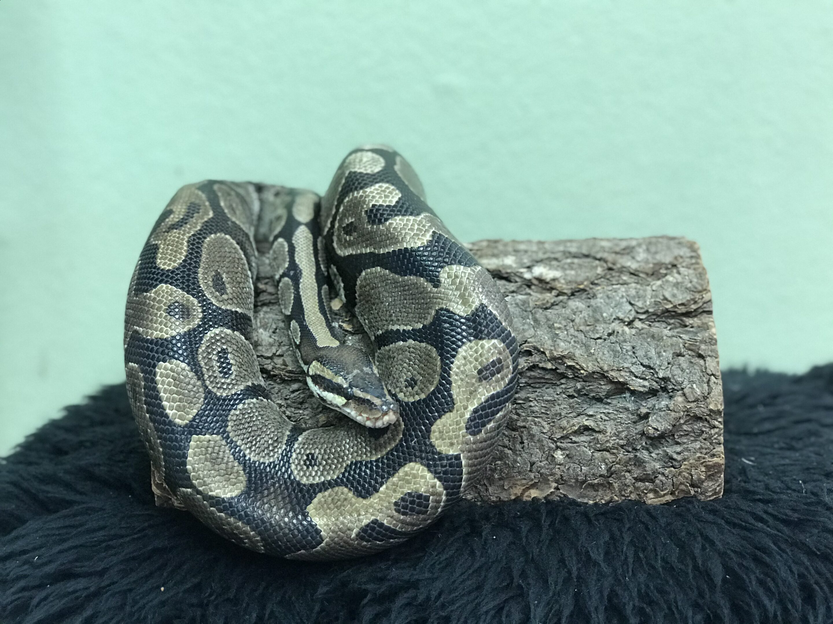 A ball python is draped over a log hide that sits on a black surface.