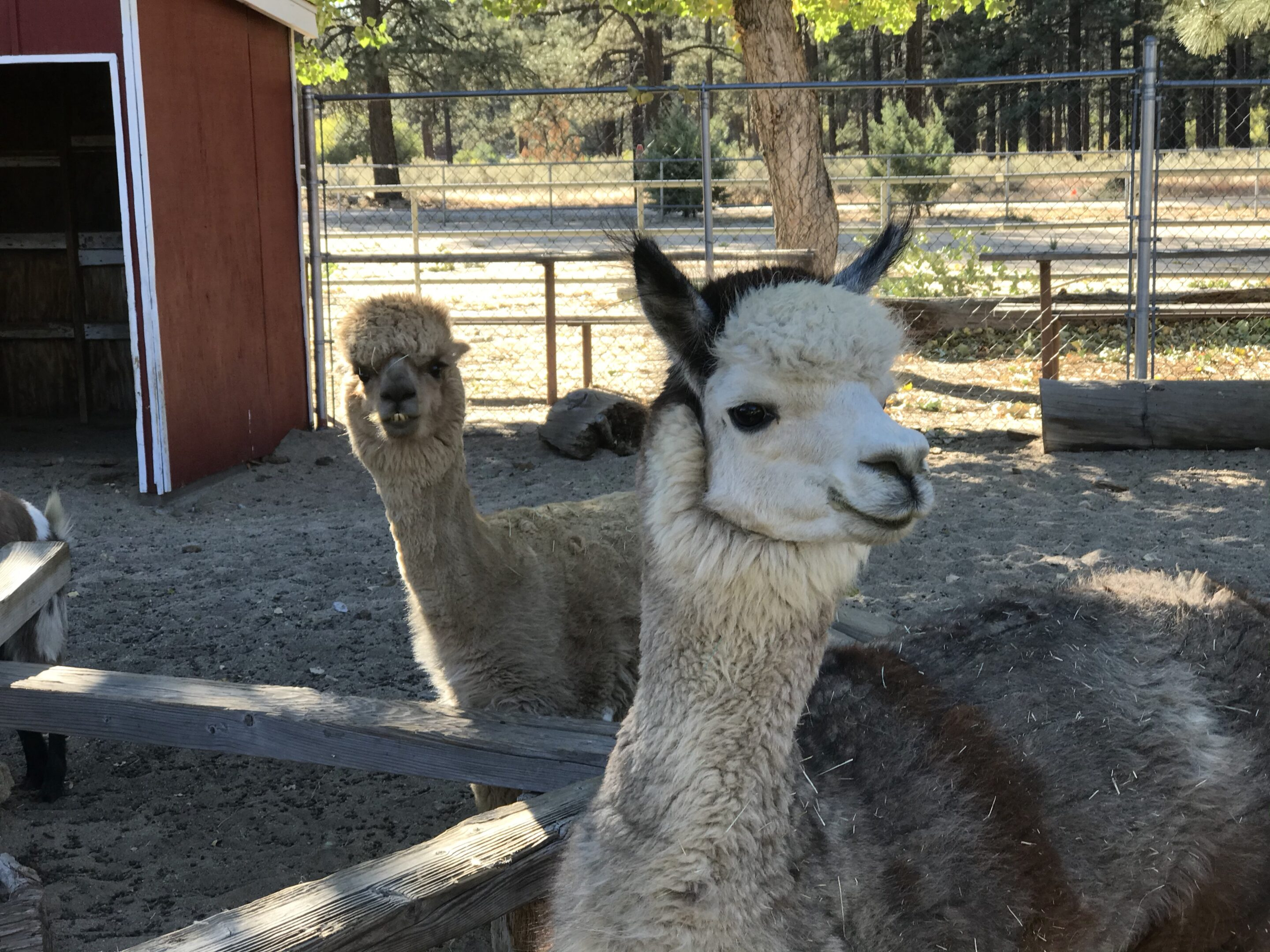 Two alpacas look at the camera in an enclosure.