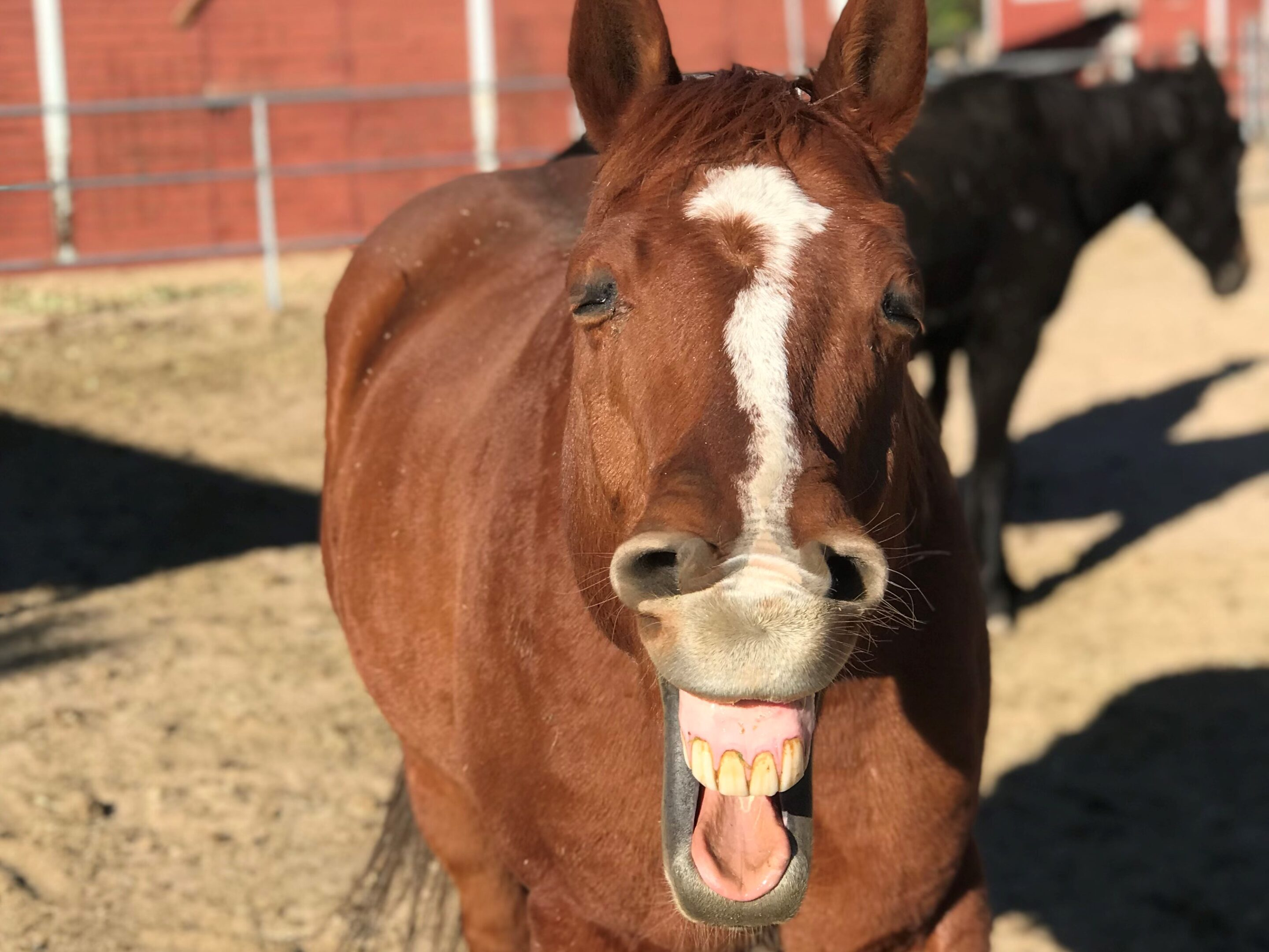 A chestnut horse with a narrow white blaze shows his teeth and gums