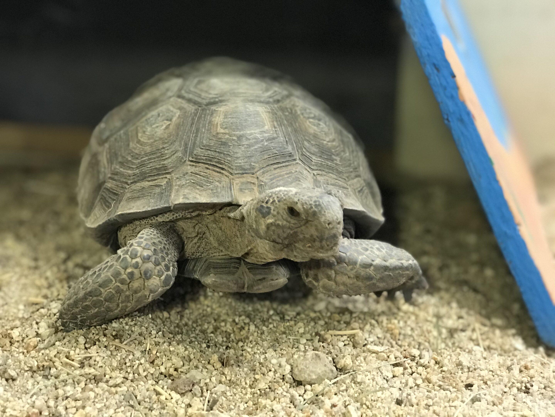 A desert tortoise is shown on sand.